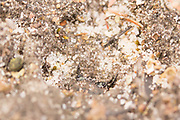 Tiger beetle larva in burrow. Thursley Common, Surrey, UK.