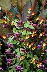 Ipomoea lobata syn. Mina lobata with Verbena bonariensis and Canna foliage in the exotic garden at Great Dixter