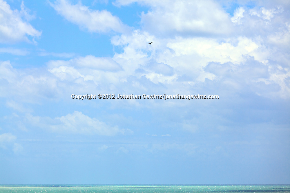 A Frigatebird soars over Biscayne Bay on the Atlantic Ocean coast, Miami, Florida. WATERMARKS WILL NOT APPEAR ON PRINTS OR LICENSED IMAGES.