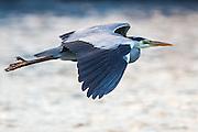 Escaping Grey Heron | Gråhegre i flukt