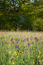 Green Winged Orchids and buttercups in Marden Meadow, Kent Orchis morio, Anacamptis morio