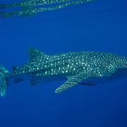 Whale shark (Rhincodon typus), Honda Bay, Palawan, the Philippines.