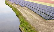 Bloementeelt, veld met Hyacinten in Noorwijkerhout -Flowerculture, field with Hyacinthus orientalis, Noordwijkerhout, Netherlands