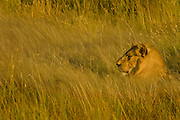 Male lion hiding in the grass
