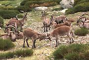 SPAIN, CASTILE and LEON Sierra de Gredos Mountains, southwest of Avila; Cabra Hispanica, wild mountain goats