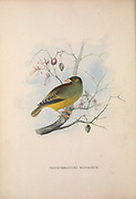oriole finch (Linurgus olivaceus syn Coccothraustes olivaceus) from Zoologia typica; or, Figures of new and rare animals and birds described in the proceedings, or exhibited in the collections of the Zoological Society of London. By Fraser, Louis. Zoological Society of London. Published London, March 1847