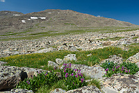After descending Loaf Mountain, I came across these wildflowers at 11,000 feet.