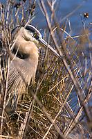 bay; bird; blue; blue heron; chesapeake; estuary; gray; habitat; heron; marsh; natural; setting; terrain; territory; tidal; wetland