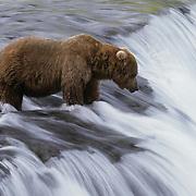Alaskan brown bear (Ursus middendorffi) fishing for chum salmon at Brooks Falls on the Brooks River, Alaska.