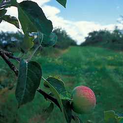 New Gloucester, ME.An apple hangs from a tree in the apple orchard at the Sabbathday Lake Shaker Village.