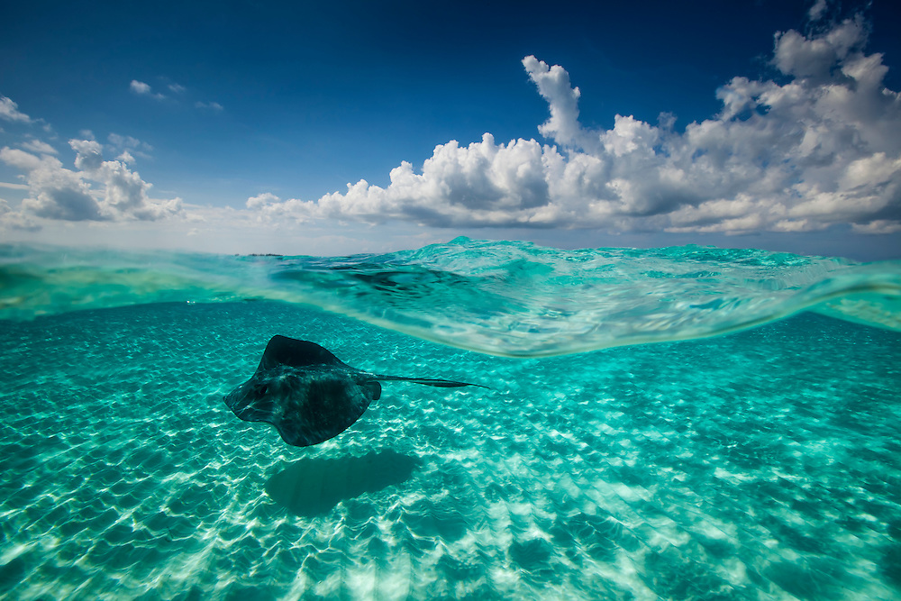Caribbean, Grand Cayman, Sand Bar. Half and half of a  southern stringray  and a cloudy day.
