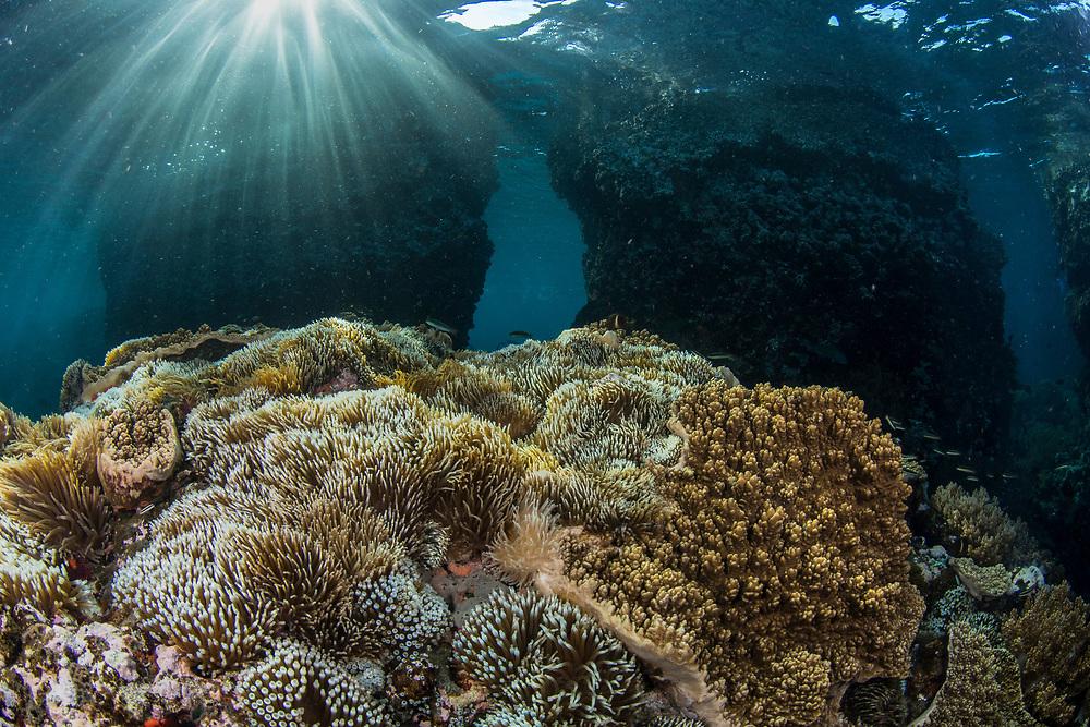 Sea Anemone (Anthozoa)<br /> Lesser Sunda Islands<br /> Indonesia
