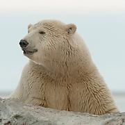 Polar bear (Ursus maritimus) in Alaska.