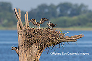 00783-02112 Osprey (Pandion haliaetus) juvenile exercising wings at nest Rend Lake Jefferson Co. IL