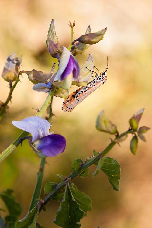 This Ornate Moth (Utetheisa ornatrix) gets some sustenance from a wild sweet pea at Little Lameshur Bay, St. John, USVI.