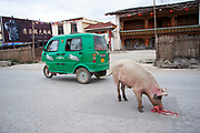 A pig investigates a plastic bag while looking for food on the streets of Zhongdian, also known as Shangrila, Yunnan; China. A green three wheeled vehicle passes this strange but very normal scene in this wild town.