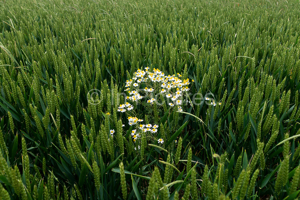 Agricultural landscape of field of corn with a few moon daisy heads standing out from the crowd near to Long Itchington, England, United Kingdom.