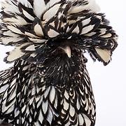 Polish Hen Chicken