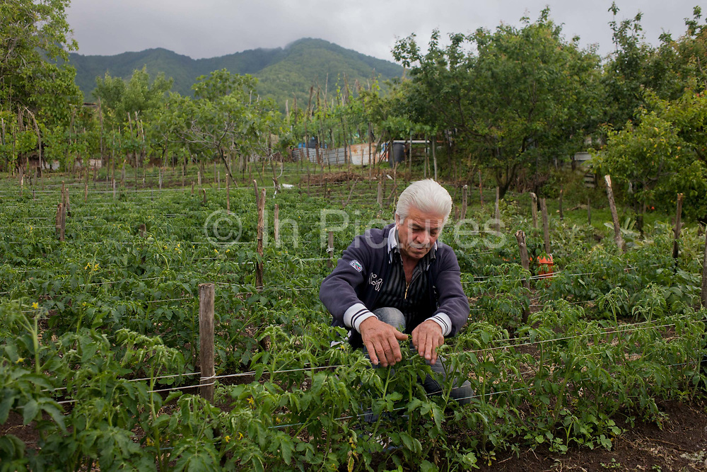"""Local farmer tends crops in a fertile field on his smallholding, located on the slopes of the Vesuvius volcano, seen in the distance which last erupted in 1944.   Tending his plants on land near Somma Vesuviana, his family have owned for generations, he and his elderly family would choose to stay if the volcano erupts again. """"There would be no modern precedent for an evacuation of this magnitude,"""" says Giuseppe Mastrolorenzo at the Vesuvius Volcano Observatory in Naples. """"This is why Vesuvius is the most dangerous volcano in the world."""""""