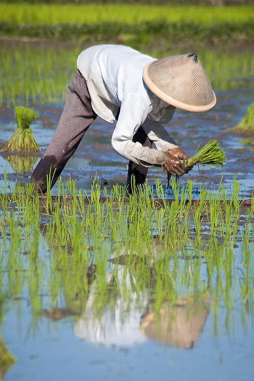Stock photograph of a Javanese lady planting rice