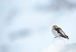 Snow bunting Plectrophenax nivalis, adult in winter plumage perched on mound of snow, Ski centre car park, Cairngorms National Park, Scotland, February