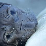 Northern Elephant Seal, (Mirounga angustirostris)  Pup nursing. California.