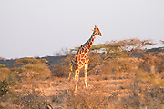 Reticulated Giraffe (Giraffa camelopardalis reticulata) Photographed at the Samburu National Reserve, Kenya