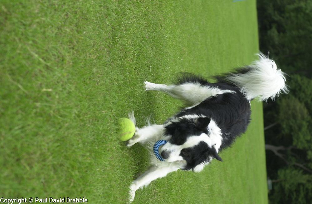 Eddie Sander with his Dogs Jackson and Inka<br /><br />18 June 2004<br /><br />Copyright Paul David Drabble<br /> [#Beginning of Shooting Data Section]<br />Nikon D1 <br /> Focal Length: 50mm<br /> Optimize Image: <br /> Color Mode: <br /> Noise Reduction: <br /> 2004/06/18 09:55:42.0<br /> Exposure Mode: Manual<br /> White Balance: Auto<br /> Tone Comp: Normal<br /> JPEG (8-bit) Fine<br /> Metering Mode: Center-Weighted<br /> AF Mode: AF-C<br /> Hue Adjustment: <br /> Image Size:  2000 x 1312<br /> 1/400 sec - F/4<br /> Flash Sync Mode: Not Attached<br /> Saturation: <br /> Color<br /> Exposure Comp.: 0 EV<br /> Sharpening: Normal<br /> Lens: 50mm F/1.8<br /> Sensitivity: ISO 200<br /> Image Comment: <br /> [#End of Shooting Data Section]