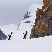 Chinstrap Penguins, Half Moon Island, Antarctica.