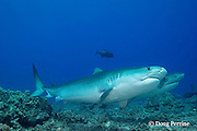 tiger sharks, Galeocerdo cuvier, Honokohau, Kona, Big Island, Hawaii, USA ( Central Pacific Ocean )