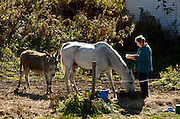 """Barbara Kohn of Tunbridge passes the time reading while guarding the grain bowl of her thirty-year-old registered Arabian named Grady from the snacking attempts of her donkey Fearless Freddie Monday, October 19, 2009. """"Sometimes I get engrossed in what I'm reading and he (Freddie) sneaks in.""""<br /> Valley News - James M. Patterson"""