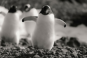 A black and white of gentoo penguins (Pygoscelis papua) walking on the beach,  Brown Bluff,West Antarctica Peninsula, The Antarctic