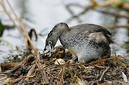 Pied-billed Grebe - Podilymbus podiceps - breeding adult