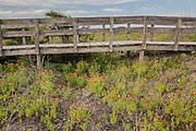 Boardwalk and Indian Blanket Flowers, South Carolina