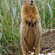 Arctic Ground Squirrel, Nunavut, Canada,