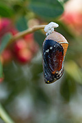 Pupa of a Plain Tiger (Danaus chrysippus) AKA African Monarch Butterfly on a flower Photographed in Israel, in August