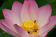 Bees cluster on lotus blossom center