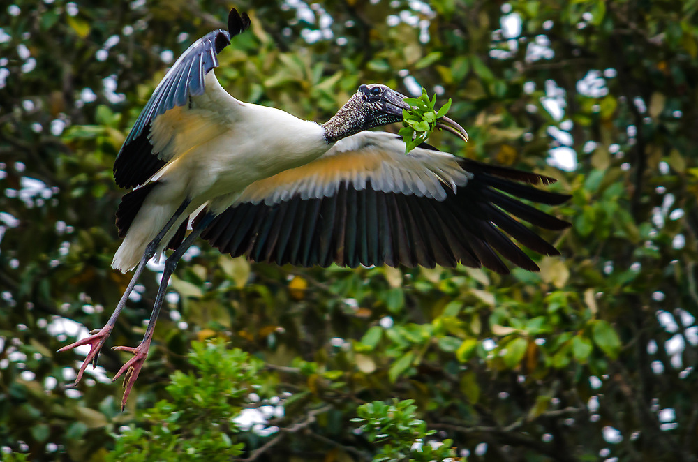 Wood Stork is flying with a branch in his beak for his nest.