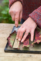 Taking leaf cuttings from a begonia using the leaf square method<br /> Slicing into strips with a knife