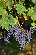 Bunches of ripe grapes. Vine leaf. Cabernet franc. Domaine des Roches Neuves, Saumur Champigny, Loire, France