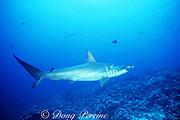 scalloped hammerhead shark, Sphyrna lewini, Endangered Species, female with mating scars, Darwin Island, Galapagos Marine Reserve, Galapagos, Ecuador ( Eastern Pacific Ocean )