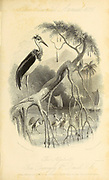 The Adjutant (Vignette Title.) [Leptoptilos is a genus of very large tropical storks, also known as the adjutant bird. The name means thin (lepto) feather (ptilos). Two species are resident breeders in southern Asia, and the marabou stork is found in Sub-Saharan Africa]. From the book ' The Oriental annual, or, Scenes in India ' by the Rev. Hobart Caunter Published by Edward Bull, London 1836 engravings from drawings by William Daniell