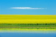 Canola refected in water from heavy rains<br /> Bracken<br /> Saskatchewan<br /> Canada
