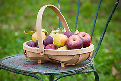 Apple, pears and plums collected in a wooden trug