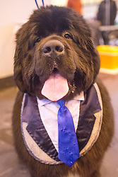 """© Licensed to London News Pictures. 06/03/2014. Birmingham, UK. Blue Emperor from Italy wears a blue tie and waistcoat """"bib"""". Owners and dogs attend the first day of Crufts 2014 at the National Exhibition Centre, Birmingham, today 6th March 2014. Crufts, a four day competition, is the worlds largest dog show, attracting over 22,000 dogs and owners. It had its first show in 1891. Photo credit : Stephen Simpson/LNP"""