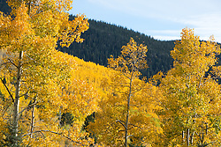 The Santa Fe Mountains with Aspen Trees changing color in The Autumn season
