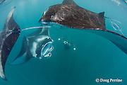 manta researcher Guy Stevens takes photos of unique individual markings ( belly spots ) used to identify manta rays, Manta alfredi (formerly Manta birostris ) that are feeding on plankton in Hanifaru Bay, Baa Atoll, Maldives ( Indian Ocean )