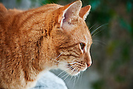 A orange tabby cat on a street in Athens, Greece.