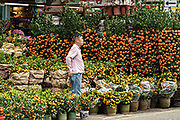 Miniature orange and mandarin trees on display at the Mong Kok Flower Market of Kowloon, Hong Kong.