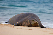 """Monk Seal resting on the sand at Ka'anapali Beach, Maui. The Hawaiian monk seal, Monachus schauinslandi, is an endangered earless seal that is endemic to the Hawaiian Islands. Known to the native Hawaiians as ?Ilio-holo-i-ka-uaua, or """"dog that runs in rough water."""" Its common name comes from the short hairs on its head resembling a monk.Coincidentally, they also act like monks in that they are solitary animals. The Hawaiian monk seal is one of only two remaining monk seal species; the other is the Mediterranean monk seal. The Hawaiian monk seal is the only seal native to Hawaii."""
